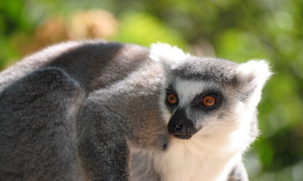 Lemur Faunia