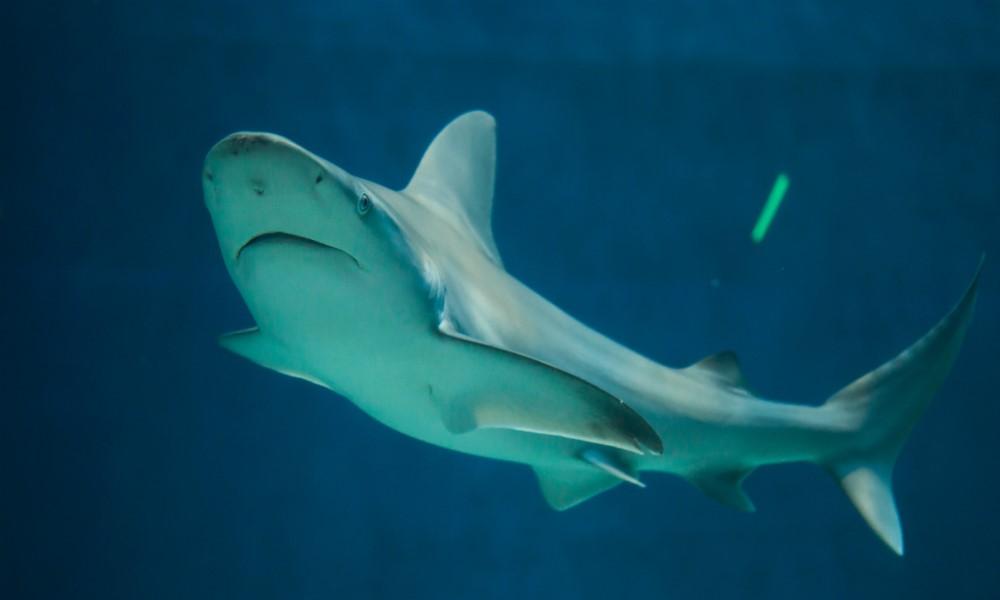 tiburón Atlantis Aquarium Madrid